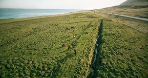 Hubschrauber, der über das Lavafeld und die wilden Pferde auf ihm fliegt Vogelperspektive der Ranch nahe dem Meer, auf dem Ufer i stock footage