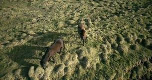 Hubschrauber, der über die zwei Pferde auf dem Lavafeld in Island fliegt Wilde Tiere, die auf der grünen Wiese weiden lassen stock video footage