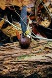 Hubschraubersamen von Dipterocarpus spp auf tropischem Regenwald von Borneo Baum-Ausbreitung von Dipterocarpus spp stockfoto