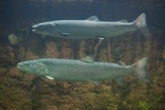 Huchen & x28; Hucho hucho& x29;或者多瑙河三文鱼 库存图片