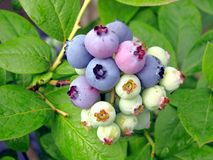 huckleberries Arkivfoto