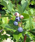 Huckleberries Immagine Stock