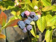 huckleberries Fotografia Stock Libera da Diritti
