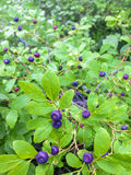 Huckleberries. Coeur d`Alene National Forest, ID Royalty Free Stock Photography