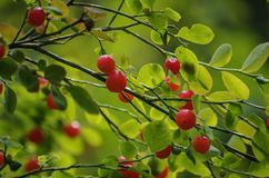 Huckleberry Μπους Στοκ Εικόνα