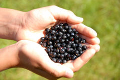 Huckleberry Royalty Free Stock Photos