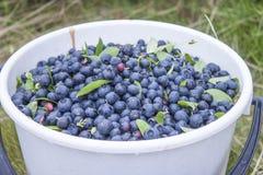 Huckleberry bucket Royalty Free Stock Photography