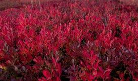 Huckleberry Bushes Turning Colors rojo en ca?da imágenes de archivo libres de regalías