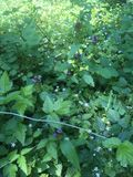 Huckleberry plants in woods Stock Photography
