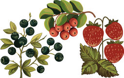 Huckleberry, Strawberry And Cow-berry Stock Photo