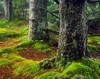 Huckleberry Trail in West Virginia. Huckleberry Trail covered in green moss at sunrise. Located on Spruce Knob in West Virginia Stock Photos