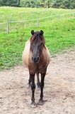 Hucul, a Carpathian pony Stock Photography
