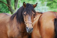 Hucul horses Royalty Free Stock Photography