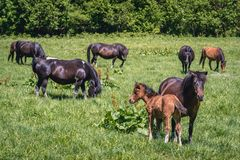 Hucul horses in Poland. Group of so called Hucul or Carpathian ponies on a green meadow in Bieszczady Mountains National Park, Poland stock images