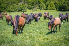 Hucul horses in Poland. Hucul ponies also called Carpathian horses on a green meadow in Bieszczady Mountains National Park, Poland royalty free stock photography