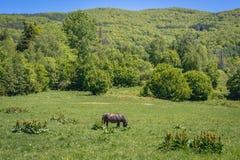 Hucul-Pferd in Bieszczady-Bergen stockbild