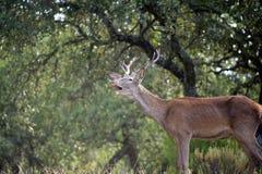 huczeń jeleni potomstwa Zdjęcia Royalty Free