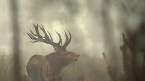Huczenie jeleń zbiory wideo