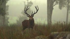 Huczenie jeleń zbiory