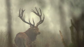 Roaring stag Stock Footage