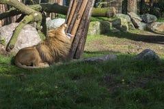 Huczenie lew Obraz Royalty Free