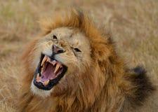 Huczenie lew 3 zdjęcia royalty free