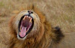 Huczenie lew Fotografia Stock