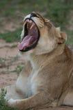Huczenie lwica Zdjęcia Stock