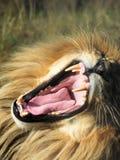 Huczenie Męski lew, portret Obraz Stock