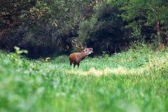 Huczenie majestatyczny potężny dorosły czerwonego rogacza jeleń w zielonym lesie fotografia stock