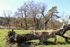 Hud av det lösa svinet som torkas på den gamla trädstammen royaltyfria foton