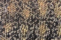 Hud av en australisk sandbildskärm (Varanusgouldi Arkivfoto
