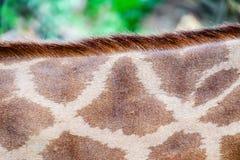 Hud av giraffet med den spotting modellen royaltyfria foton