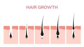 Hud för hårtillväxtcirkulering Fas för follikelanatomianagen, illustration för hårtillväxtdiagram royaltyfri illustrationer