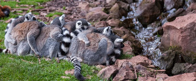 A huddle of Lemurs Stock Photo