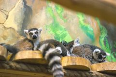 A huddle of ring tailed lemurs Royalty Free Stock Photos