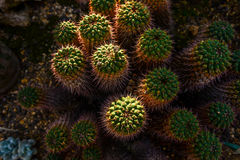 A huddled bunch of Cacti Royalty Free Stock Photo