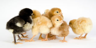Huddling Chickens Various Species Farm Animals. A group of new born chickens huddle together Royalty Free Stock Photography