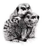 Huddling Meerkats. Ink drawing of a couple of meerkats huddling together Royalty Free Stock Image