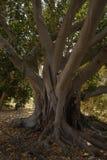 Hude drzewo oliwne Obraz Royalty Free