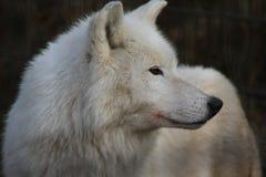 Hudson湾狼头 免版税库存图片