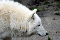 Hudson Bay-de wolfszweerhudsonicus van wolfscanis Royalty-vrije Stock Foto's