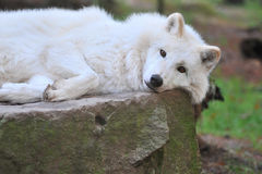 Hudson-Bay Wolf Stock Photography