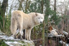 Hudson Bay Wolf Royalty Free Stock Photos