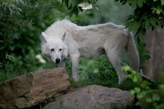 Hudson Bay Wolf. In green Royalty Free Stock Photos
