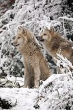 Hudson Bay Wolves. In the snow stock photography
