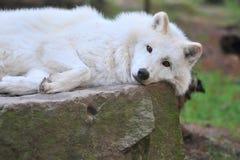 Hudson-Schacht Wolf Stockfotografie