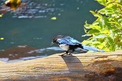 hudsonia Negro-cargado en cuenta de la pica de la urraca Fotografía de archivo libre de regalías
