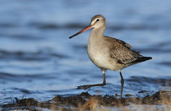Hudsonian godwit Royalty Free Stock Photography