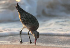 Hudsonian Godwit Feeding. Migrating Hudsonian Godwit  Feeding on a Beach in Grenada, Eastern Caribbean Stock Photo